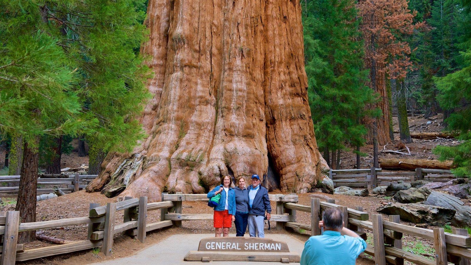 Sequoia National Park mostrando cenas de floresta assim como um pequeno grupo de pessoas