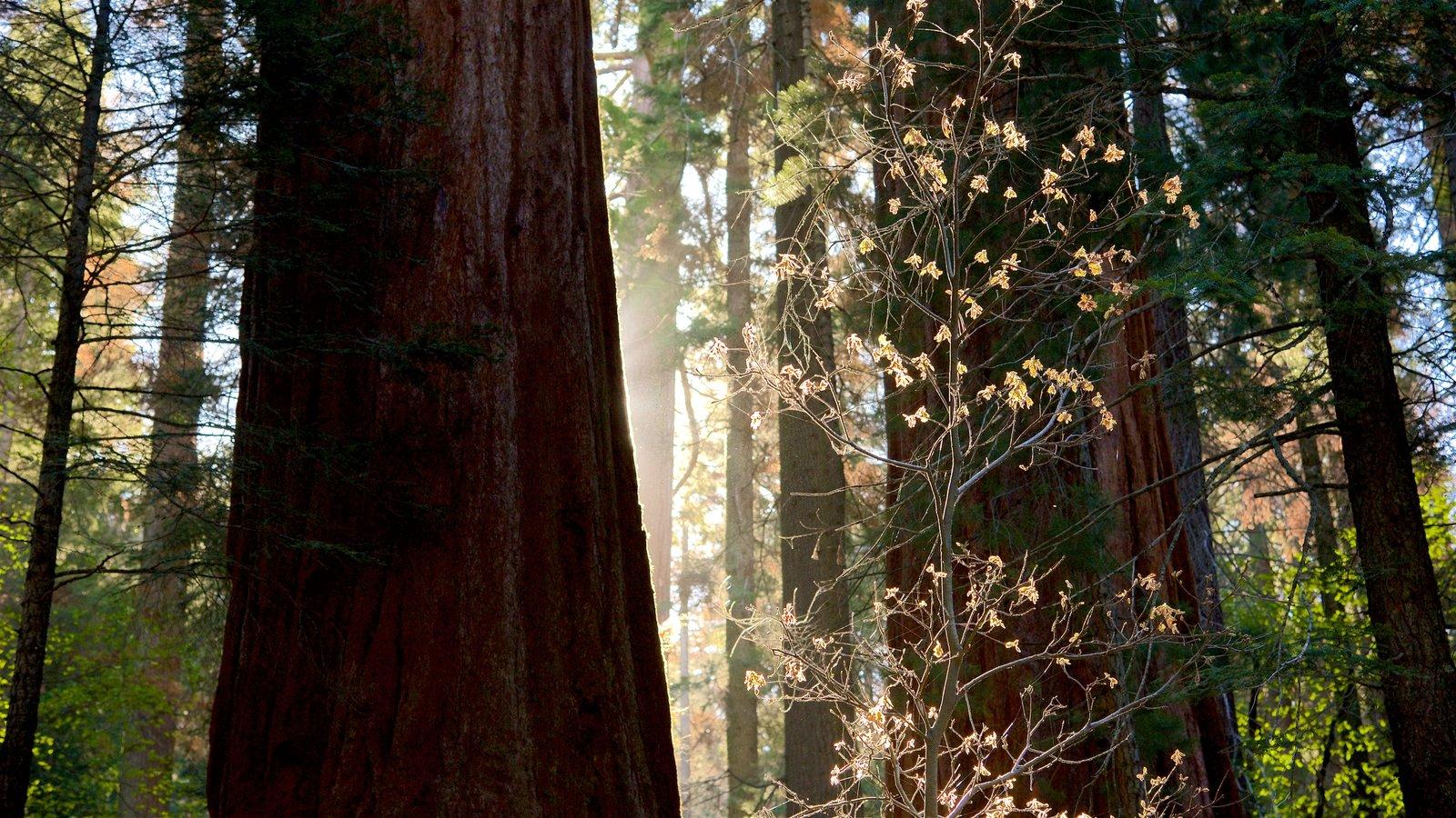 Sequoia National Park mostrando florestas