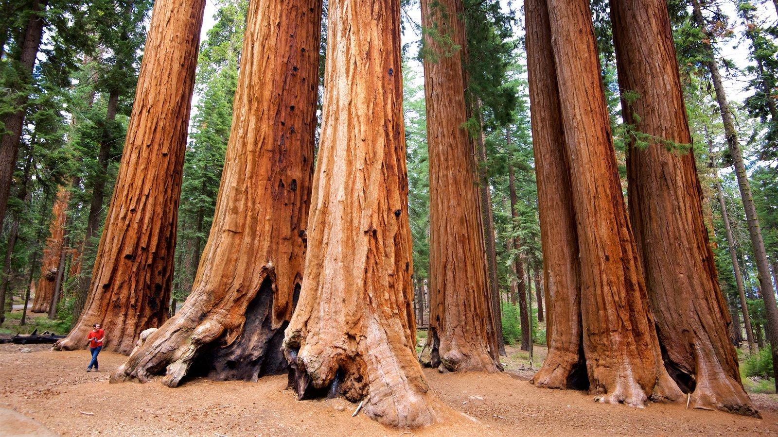 Sequoia National Park que inclui cenas de floresta assim como uma mulher sozinha