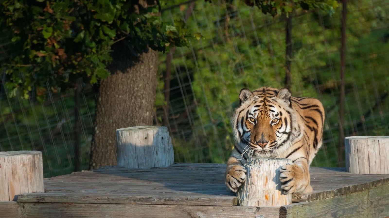 Reserva Natural Turpentine Creek caracterizando animais perigosos e animais de zoológico