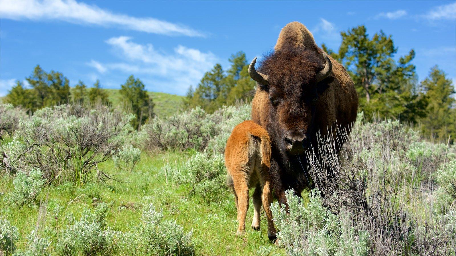 Yellowstone National Park caracterizando animais terrestres e cenas tranquilas