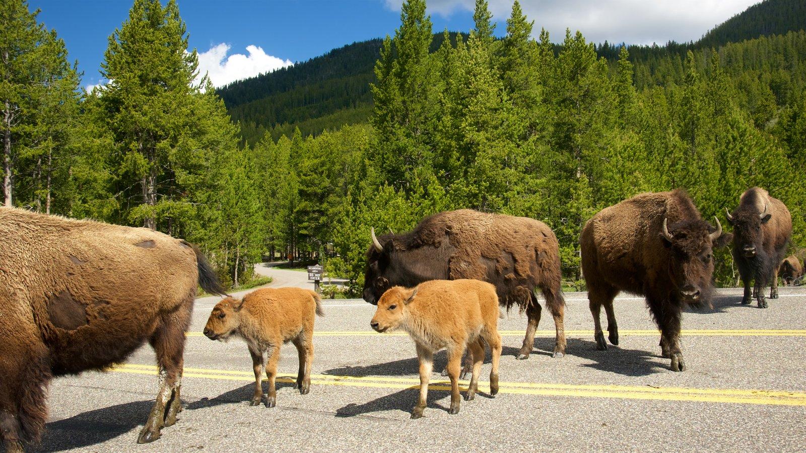 Yellowstone National Park mostrando animais terrestres e florestas