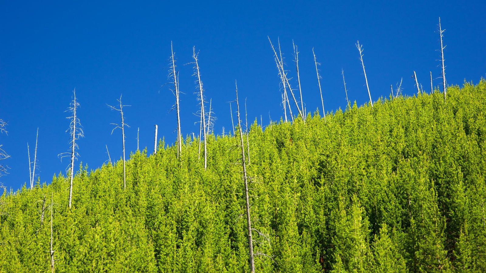 Yellowstone National Park caracterizando cenas de floresta