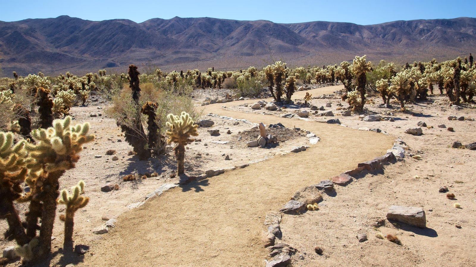 Cholla Cactus Garden caracterizando paisagens do deserto e paisagem