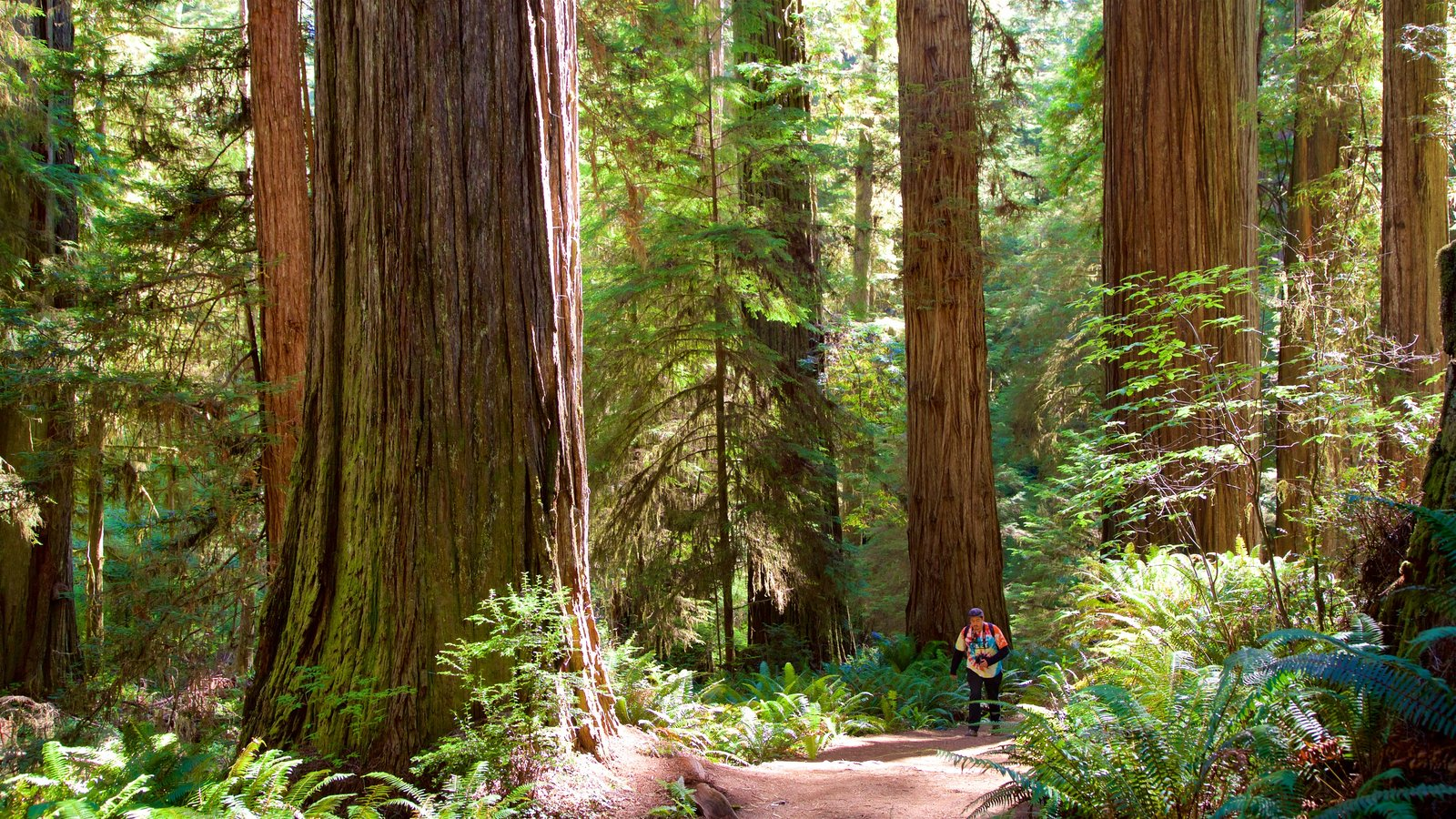 Redwood National and State Parks featuring hiking or walking and forests as well as an individual male