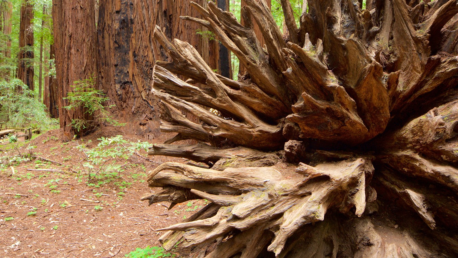 Armstrong Redwoods State Park featuring forests