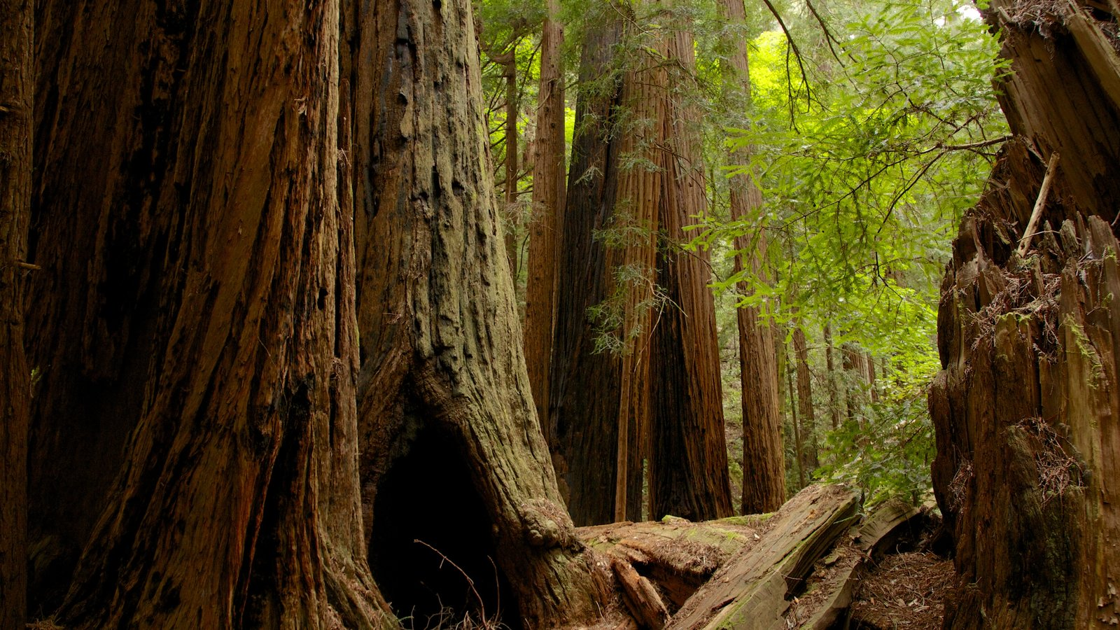 Muir Woods featuring forest scenes
