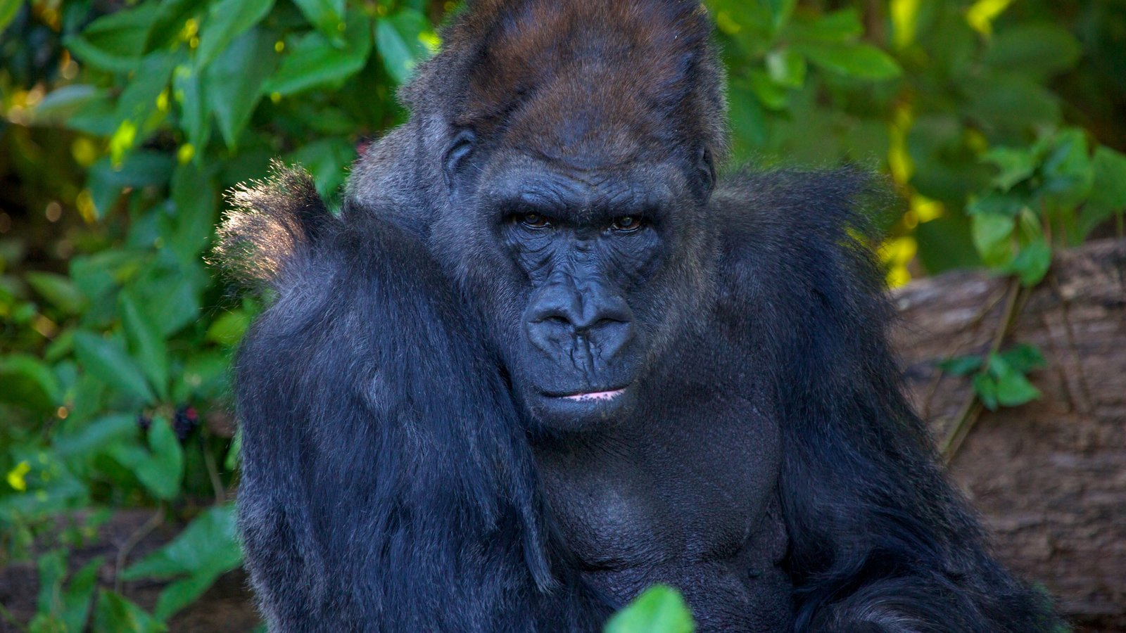 Image result for monkey jungle miami gorilla