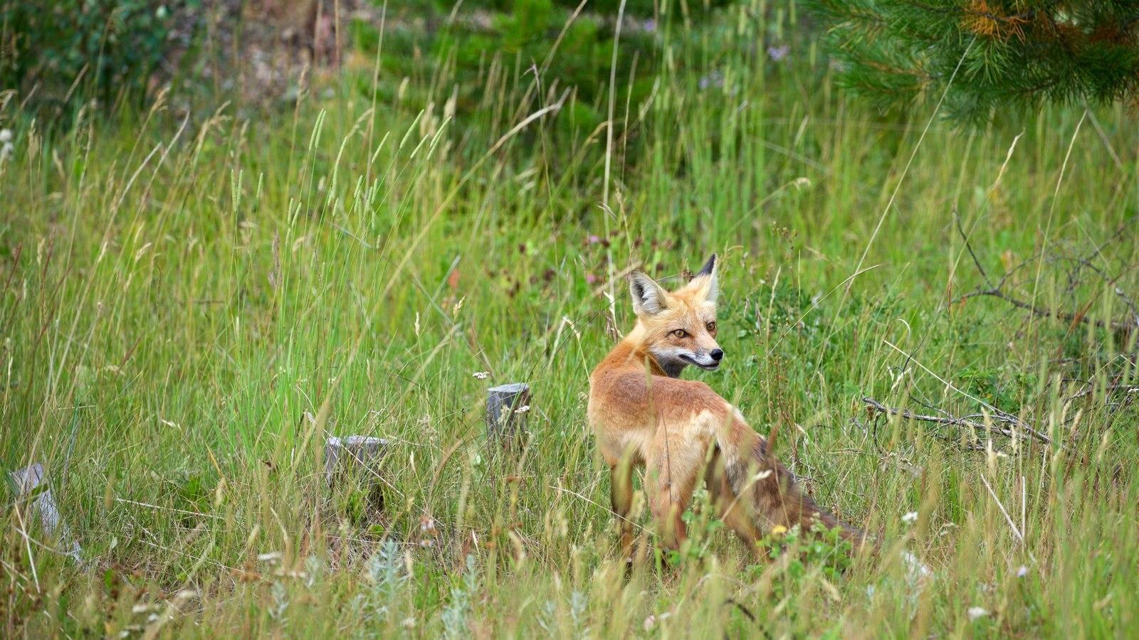 Rocky Mountain National Park mostrando animais terrestres