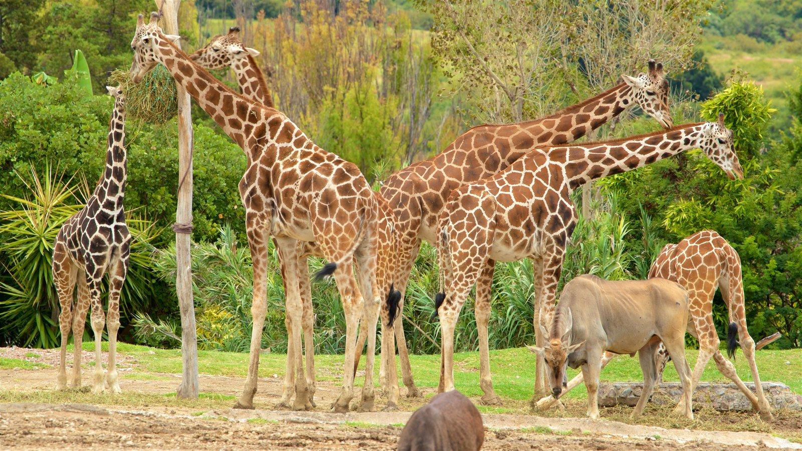 Africam Safari, un sitio ubicado en los alrededores de Puebla, perfecto para observar la vida salvaje