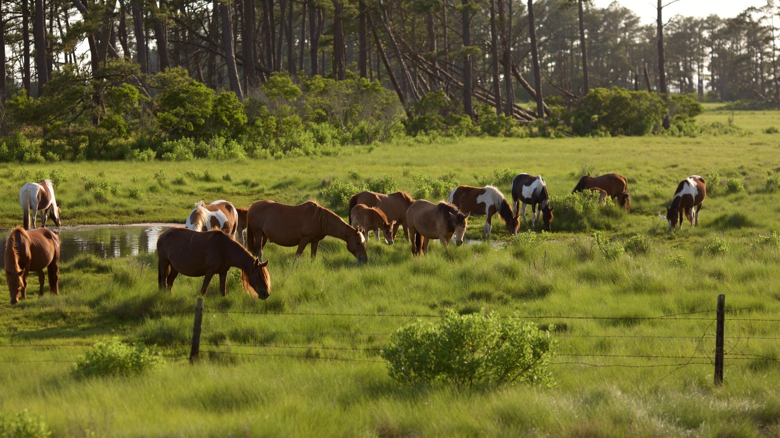 Assateague Island National Seashore featuring land animals, tranquil scenes and a pond