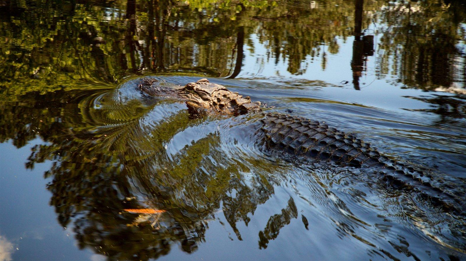 Okefenokee Swamp Park showing wetlands and dangerous animals
