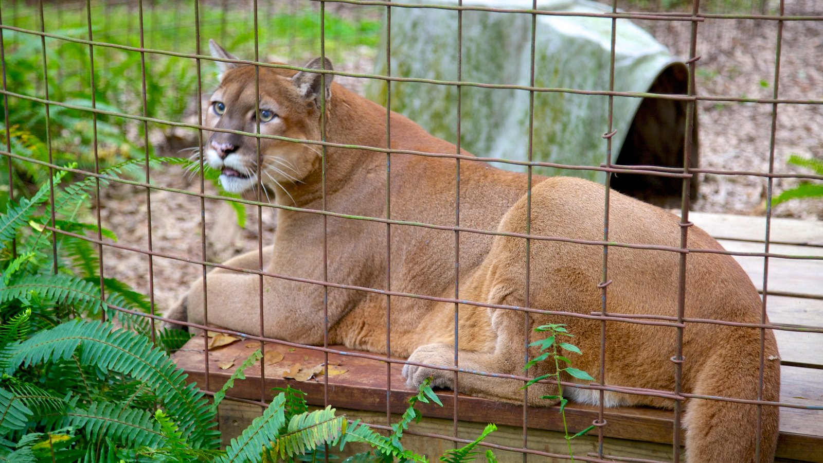 Animal Pictures View Images Of Big Cat Rescue