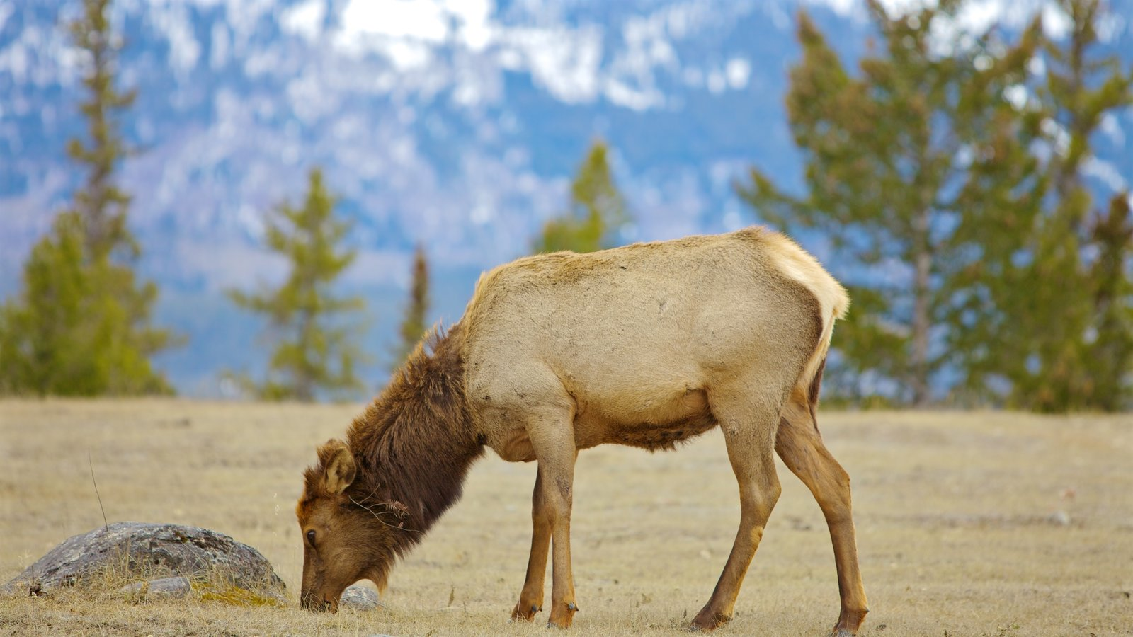 Jasper National Park featuring land animals