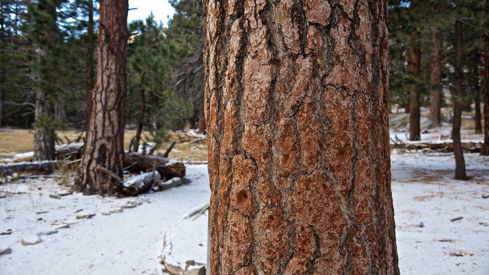Parque estatal Mount San Jacinto ofreciendo nieve y bosques
