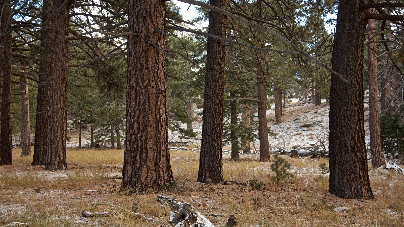 Parque estatal Mount San Jacinto mostrando bosques