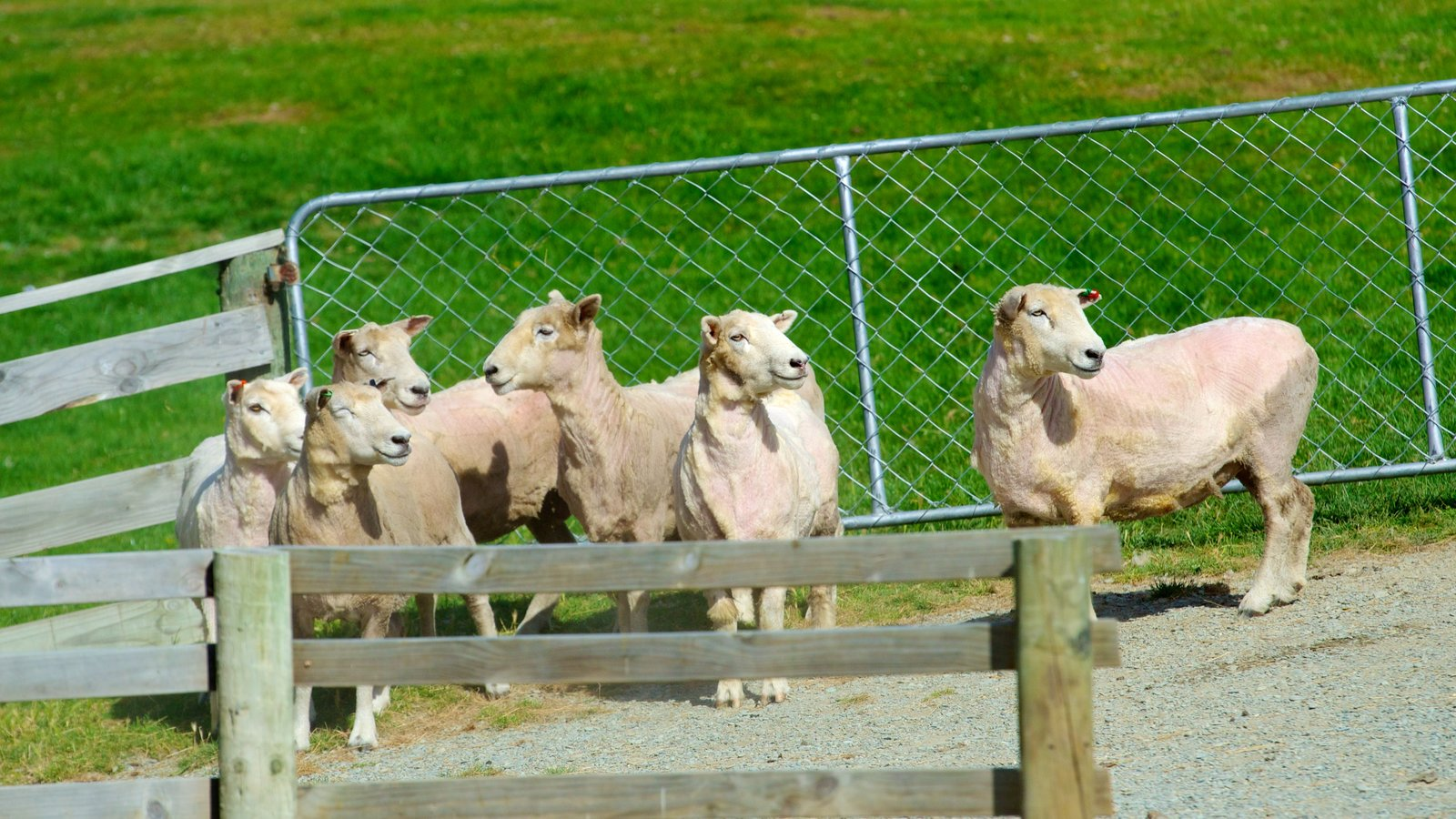 Queenstown showing animals