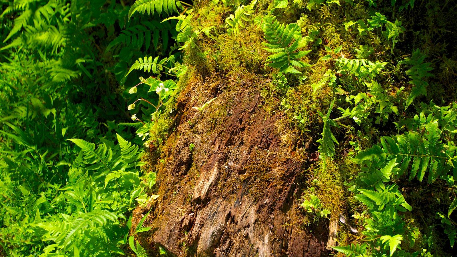Akaka Falls que incluye bosques
