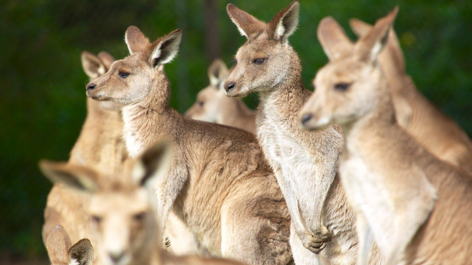 Lone Pine Koala Sanctuary featuring land animals and zoo animals