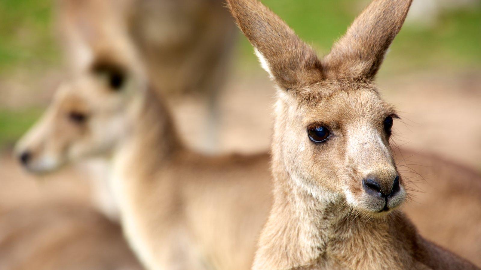 Lone Pine Koala Sanctuary featuring zoo animals