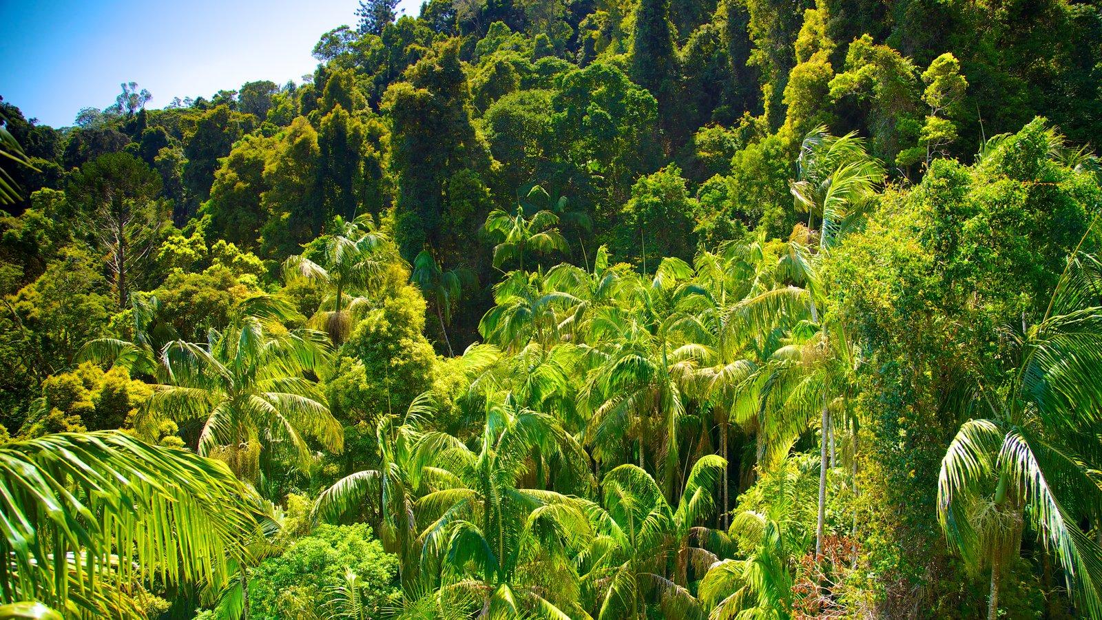 Mount Tamborine showing rainforest