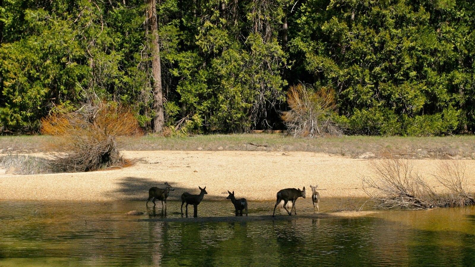 Yosemite Valley que inclui paisagem, cenas de floresta e animais terrestres
