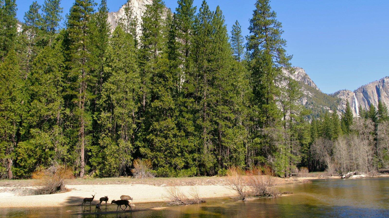 Yosemite Valley caracterizando florestas, animais terrestres e um rio ou córrego