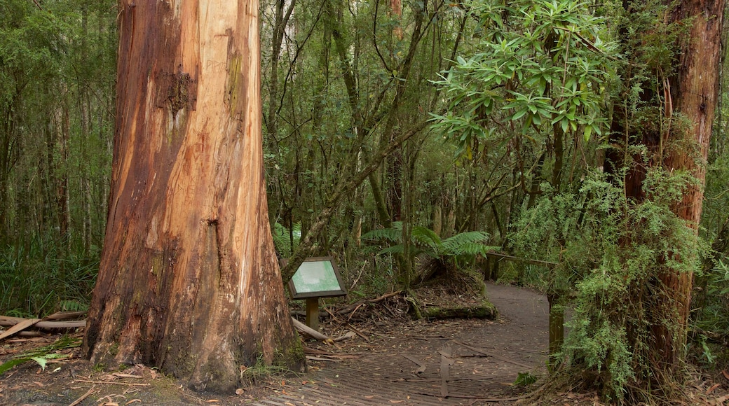 Great Otway National Park showing rainforest