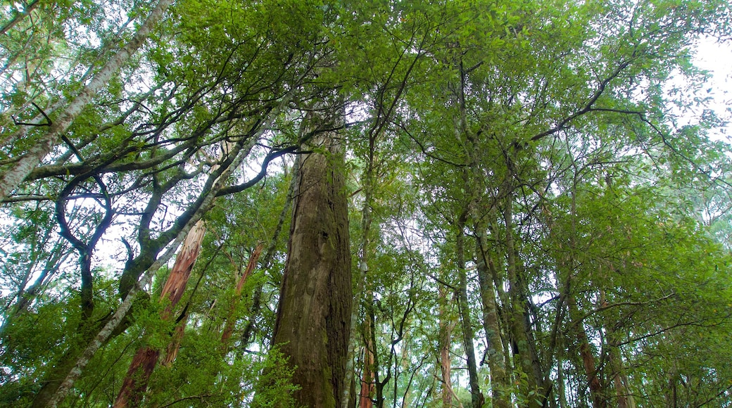 Great Otway National Park featuring rainforest