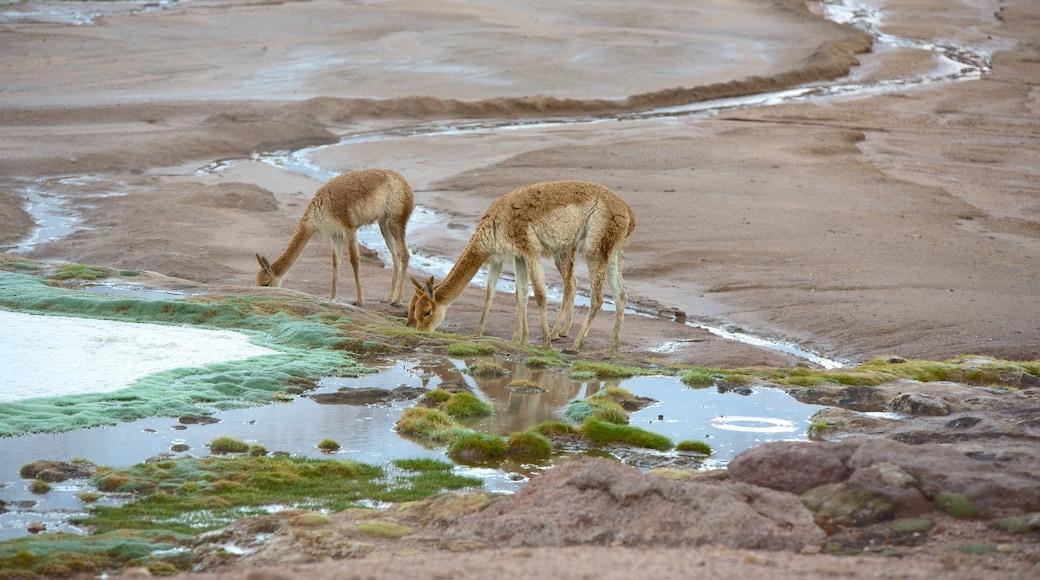 El Tatio Geyser Field das einen ruhige Szenerie und Tiere
