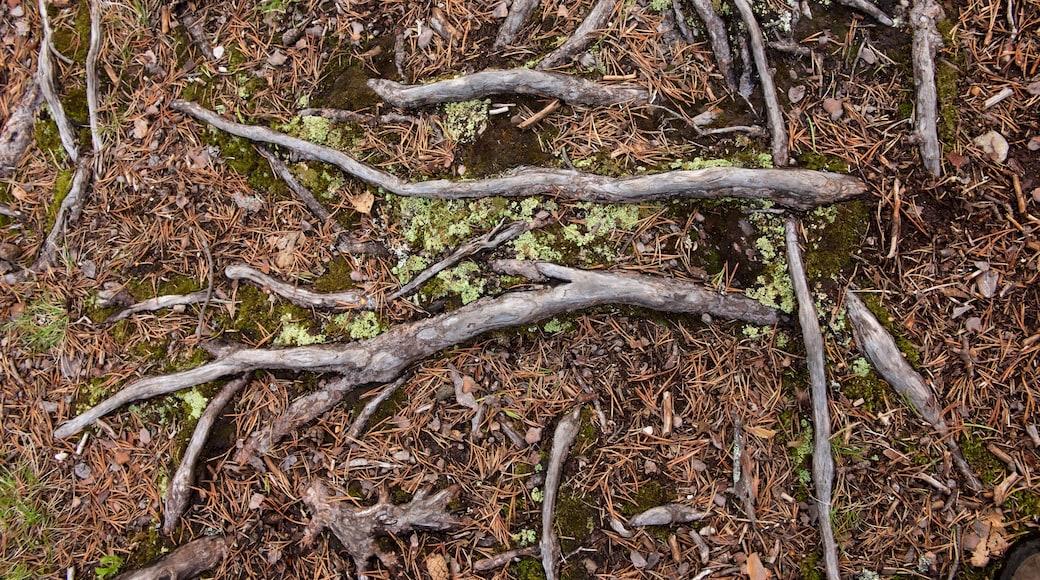 Pallas-Yllästunturin kansallispuisto featuring metsänäkymät