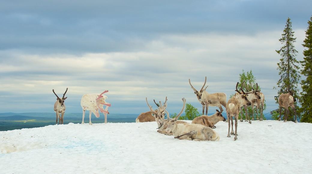 Pyhätunturi johon kuuluu maaeläimet ja lunta