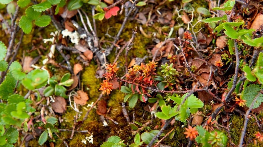 Urho Kekkosen kansallispuisto joka esittää luonnonvaraiset kukat