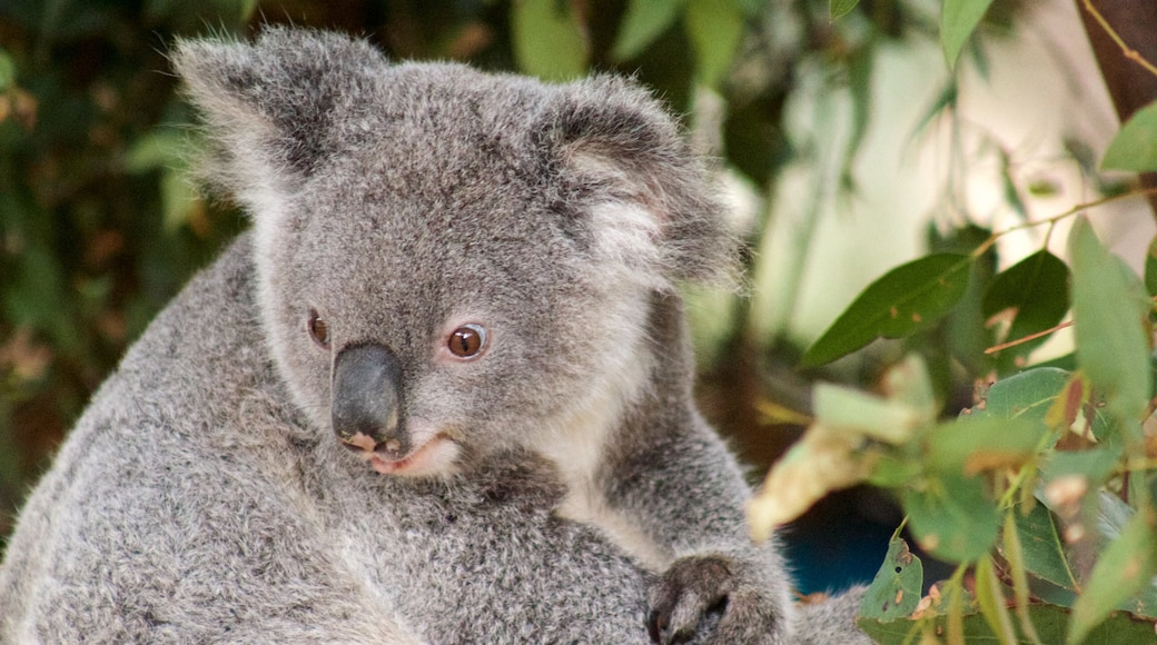 Currumbin Wildlife Sanctuary showing cuddly or friendly animals and zoo animals