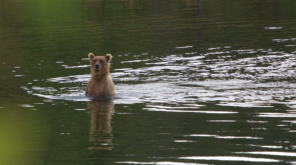 King Salmon qui includes rivière ou ruisseau et animaux dangereux