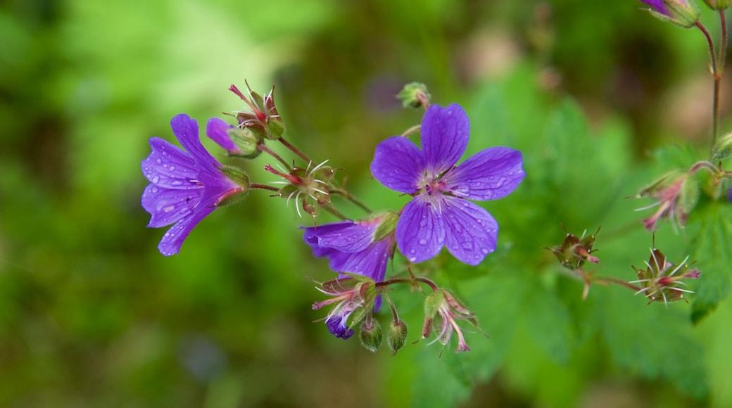 Muddus Nationalpark welches beinhaltet Blumen