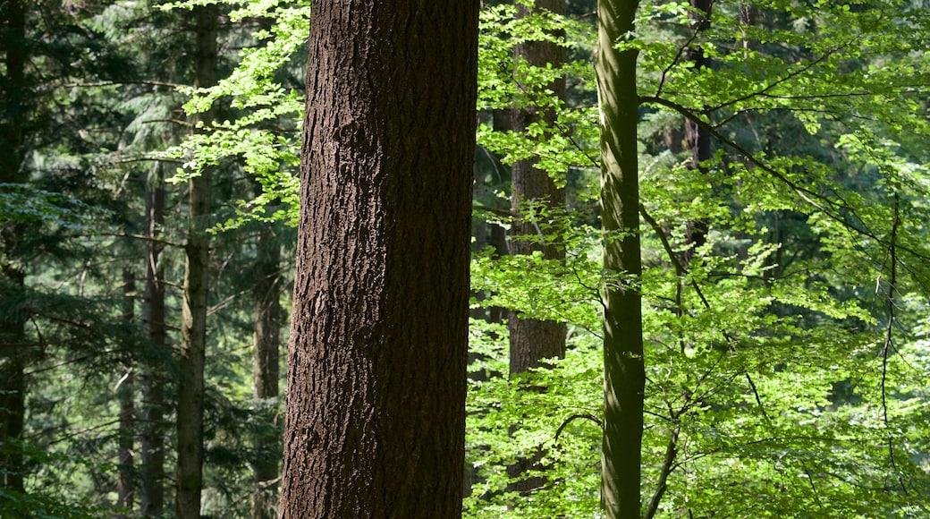 Schwarzwald welches beinhaltet Waldmotive