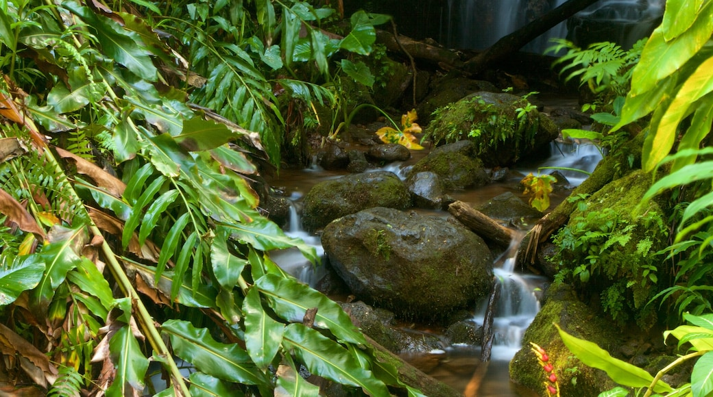 Akaka Falls featuring rainforest and a river or creek