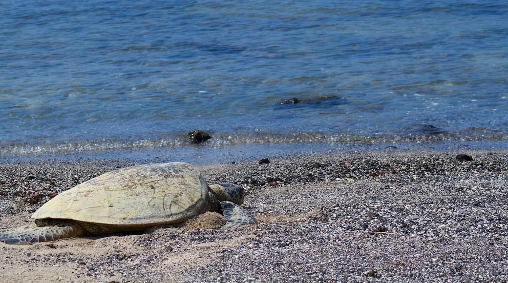Kaloko-Honokohau National Historical Park featuring a pebble beach and marine life