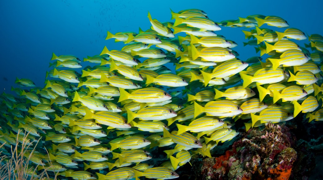Maldives showing colourful reefs and marine life