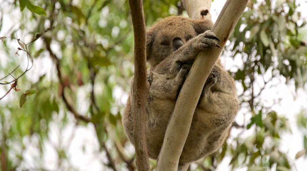 Phillip Island showing cuddly or friendly animals