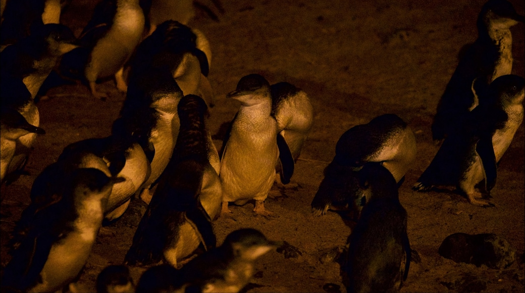 Penguin Parade which includes bird life and a beach