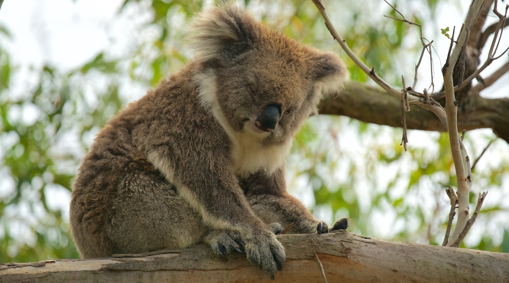 Phillip Island showing cuddly or friendly animals and zoo animals