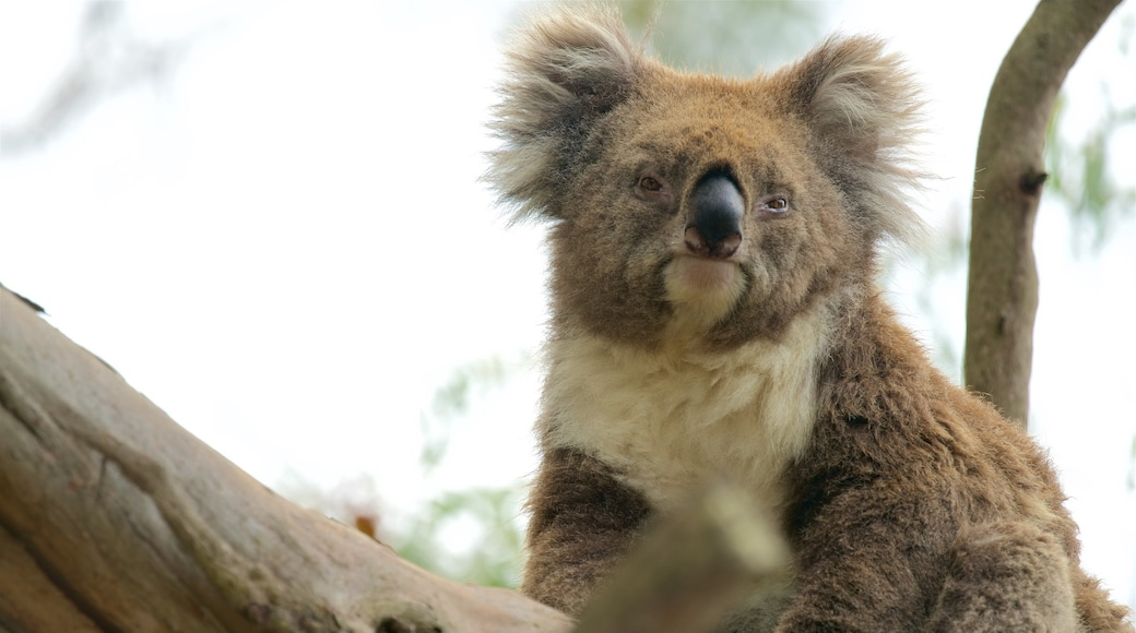 Phillip Island showing zoo animals and cuddly or friendly animals