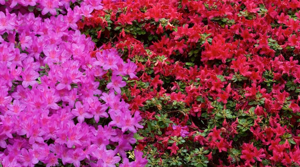 Hakone Gardens mostrando flores
