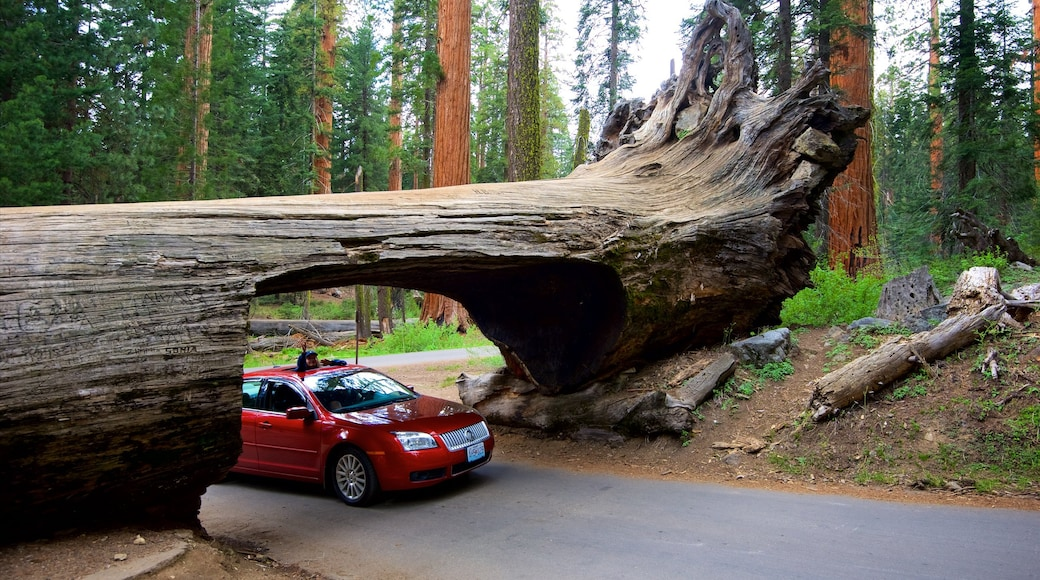 Sequoia National Park which includes forests