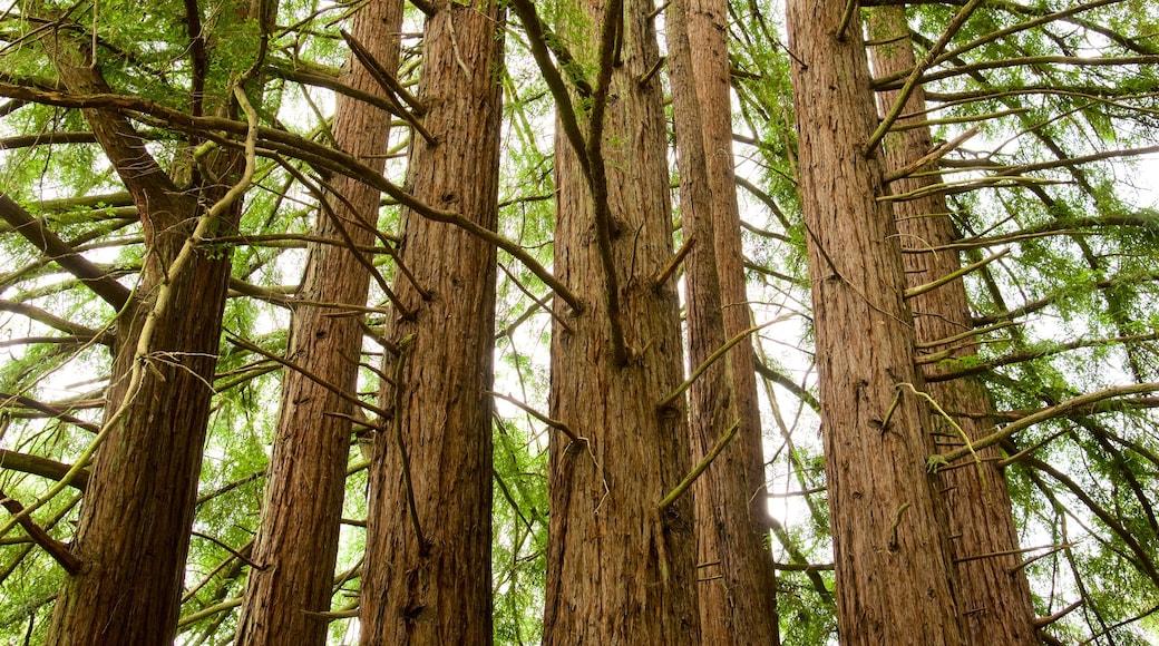 Parque regional Redwood ofreciendo escenas forestales