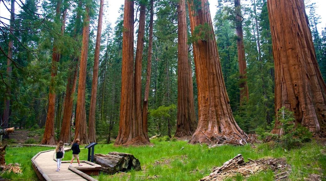 Sequoia National Park mettant en vedette forêts aussi bien que enfants
