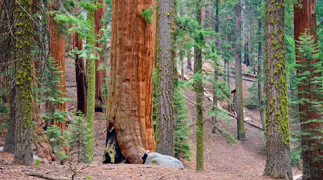 General Sherman Tree caracterizando cenas de floresta
