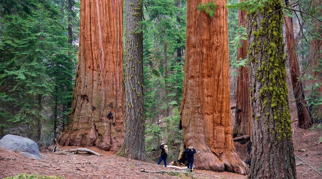 Sequoia National Park mostrando cenas de floresta